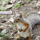 squirrel breasts