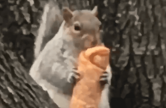 squirrel eating egg roll